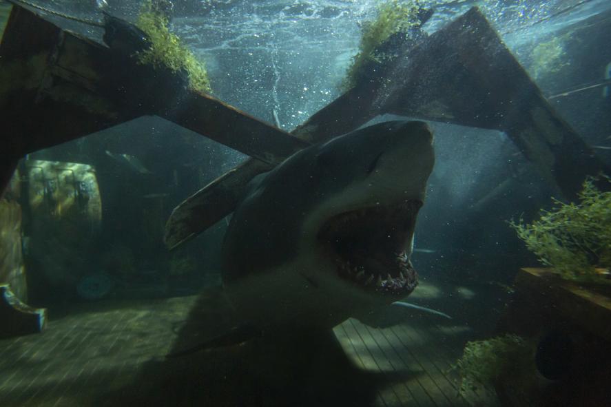 Der weiße Hai wird von Balken an den Meeresgrund gedrückt.