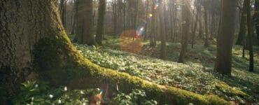 Ein kräftiger Baumstamm läuft in Das geheime Leben der Bäume eine dicke Wurzel aus, die im Erdboden verschwindet. Im Hintergrund der Wald.