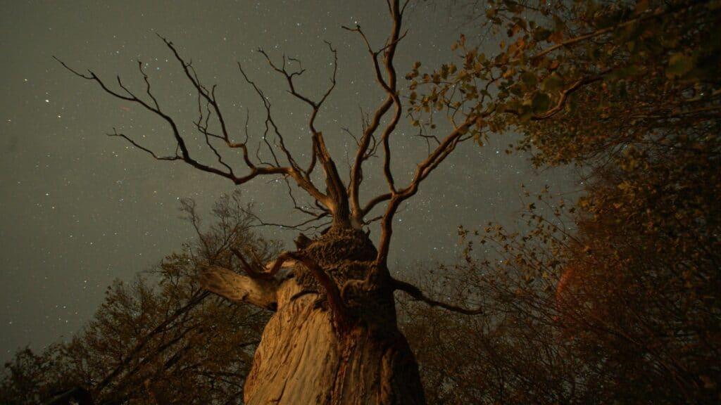 Die tote Baumkrone eines vertrockneten Baums.