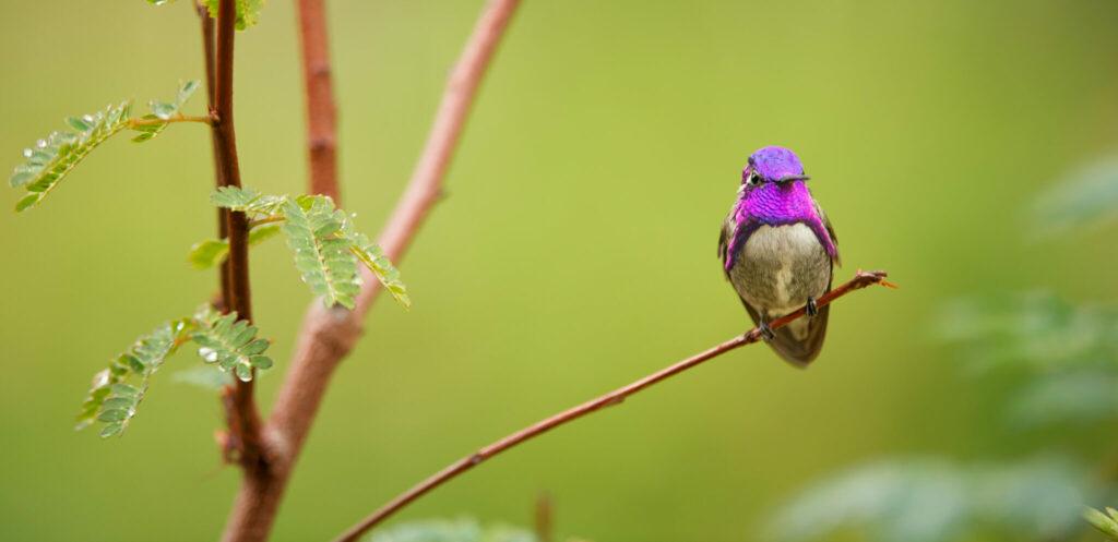 Ein purpurfarbener Kolibri sitzt in Das Leben in Farbe mit David Attenborough am rechten Bildschirmrand vor grünem Hintergrund auf einem kleinen Zweig.