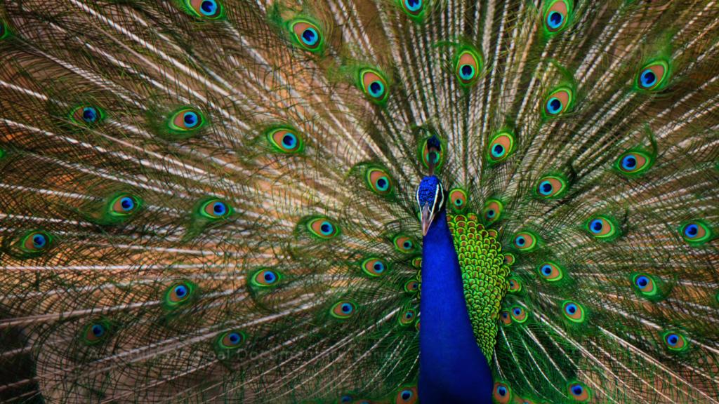 """Ein Pfau, der seinen grünen Schweif aufstellt. Zu sehen sind die Vielzahl der blau-grünen """"Augen"""" auf dem Hinterteil des Tieres. Aus Das Leben in Farbe mit David Attenborough."""
