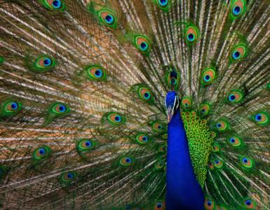 Ein Pfau, der seinen grünen Schweif aufstellt. Zu sehen sind die Vielzahl der blau-grünen Augen auf dem Hinterteil des Tieres.