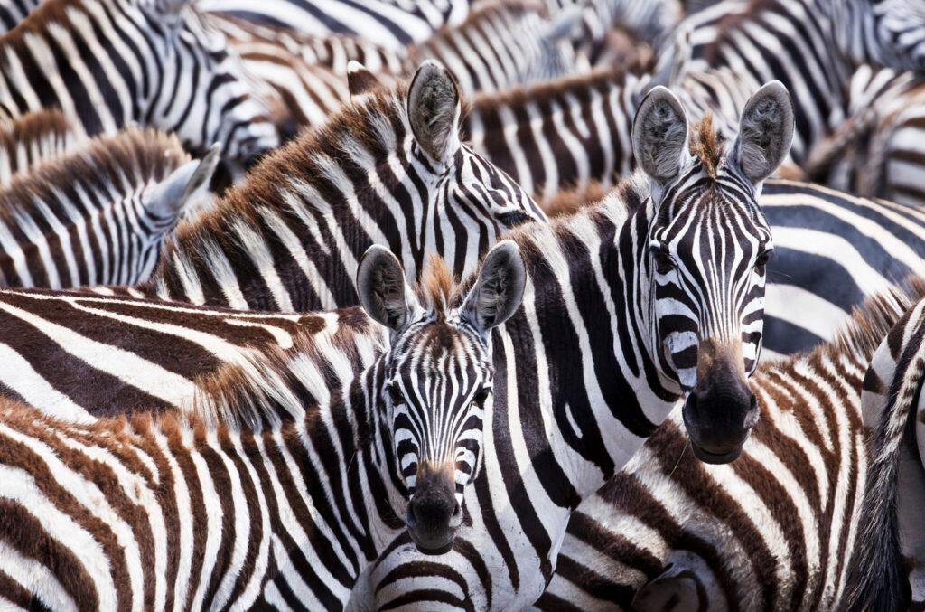 Eine Aufnahme aus Das Leben in Farbe mit David Attenborough zeigt eine Horde Zebras, die mit ihren schwarzen und weißen Streifen scheinbar ineinander verschmelzen.