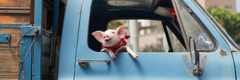 Schweinchen im Lieferwagen in Die Wurzeln des Glücks