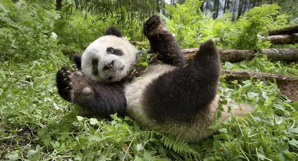 "Spielender Panda in ""Unsere Erde 2"" © Universum Film"