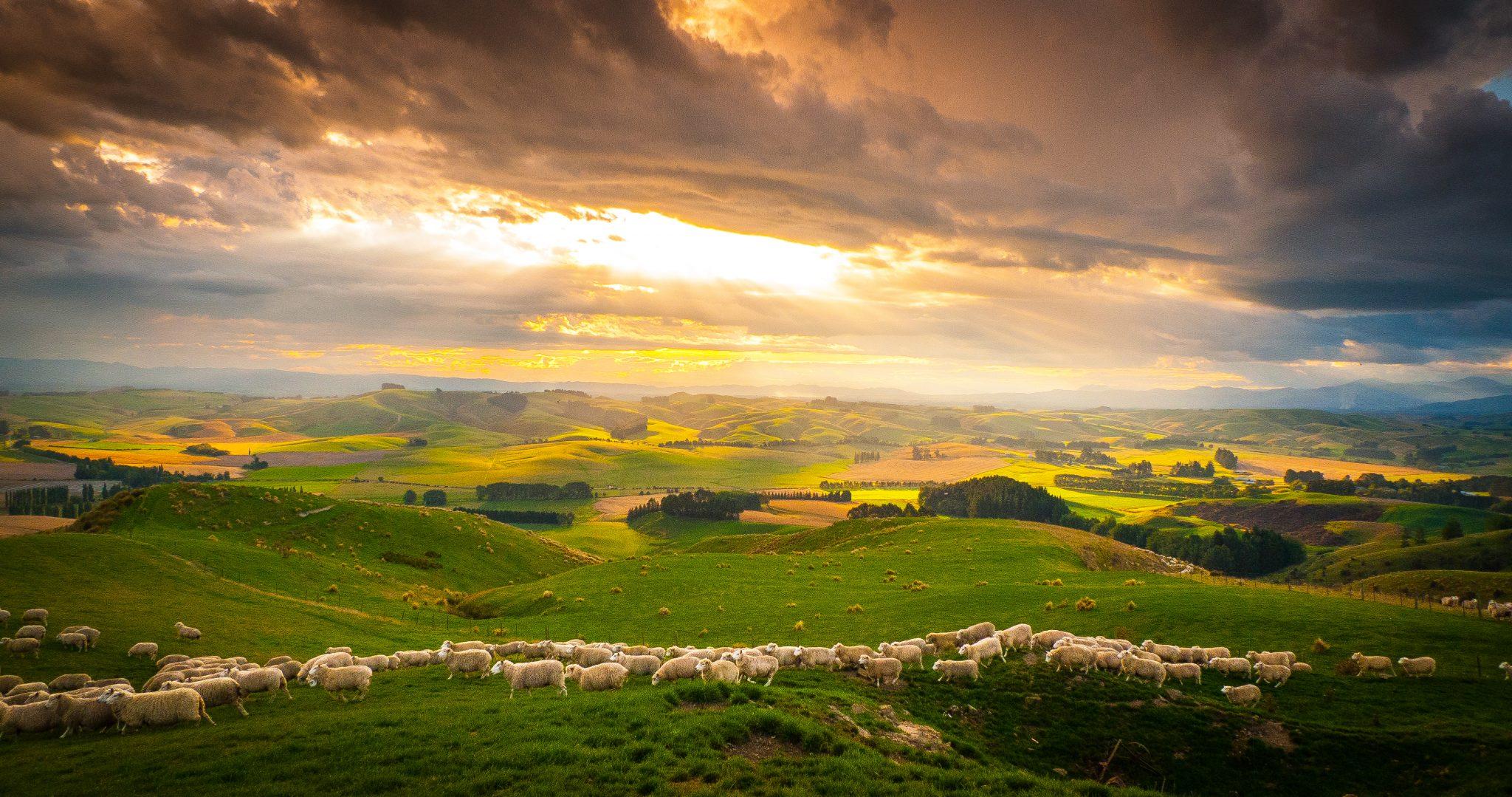 """Schafherde in der idyllischen Landschaft Neuseelands in """"Wildes Neuseeland - Inseln am Ende der Welt"""" © polyband Medien GmbH"""