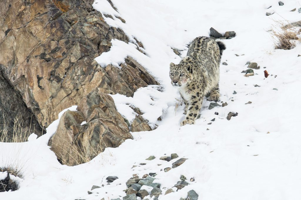 """Ein Schneeleopard (Panthera uncia) im Himalaya in """"Die Welt der Raubkatzen""""© polyband Medien GmbH"""