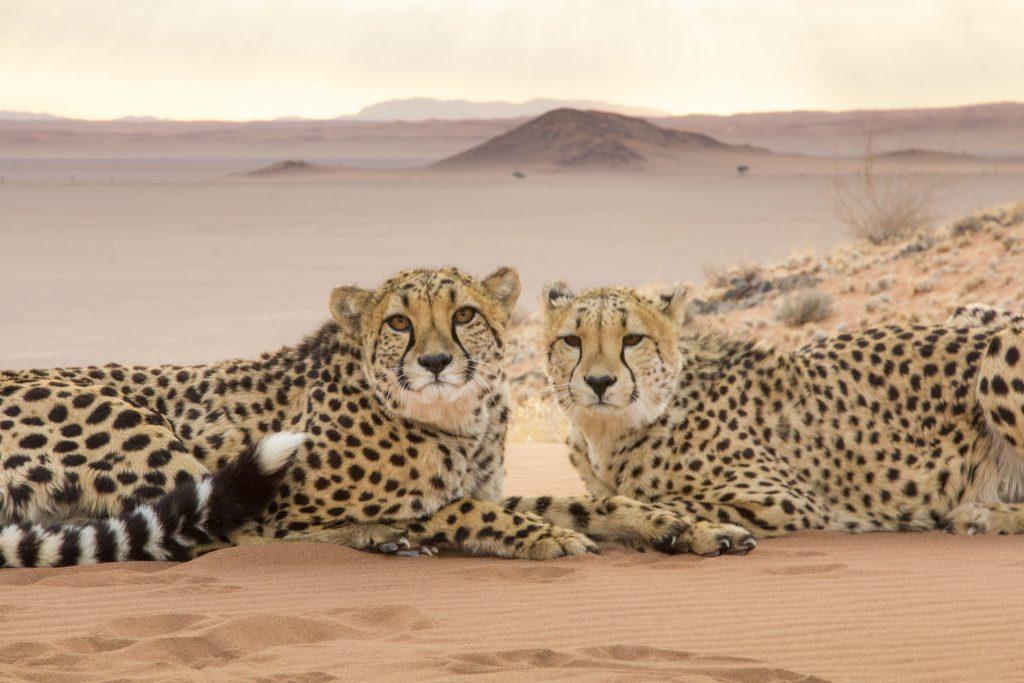 "Geparde (Acinonyx jubatus) in Namibia in ""Die Welt der Raubkatzen""© polyband Medien GmbH"