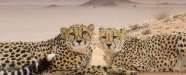 "Geparde (Acinonyx jubatus) in Namibia in ""Die Welt der Raubkatzen"" © polyband Medien GmbH"