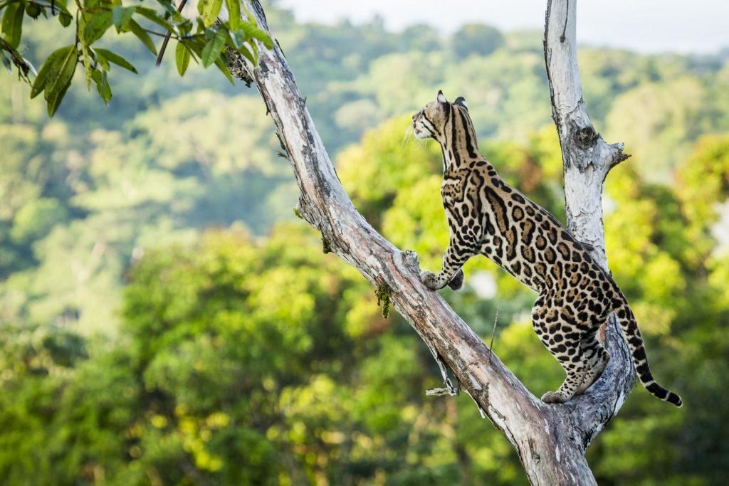 """Ein Ozelot (Leopardus pardalis) im zentralamerikanischen Regenwald in """"Die Welt der Raubkatzen""""© polyband Medien GmbH"""