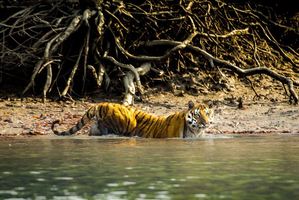 """Ein Bengaltiger (Panthera tigris) in Indien in """"Die Welt der Raubkatzen"""" © polyband Medien GmbH"""